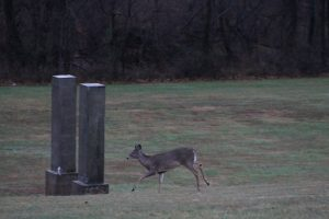 A deer runs after hearing a shotgun blast at Bucks County Community College near the border with the park. Credit: Tom Sofield/NewtownPANow.com